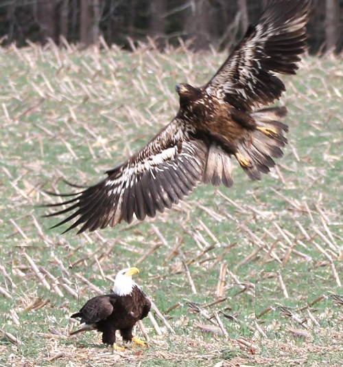 Juvenile eagle in flight as mature eagle looks on.