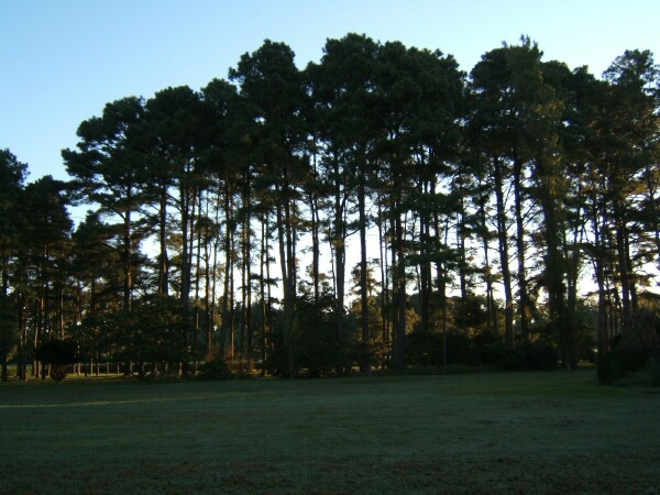 Picture of pine trees